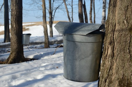Sugarbush and sap buckets at Shelburne Farms in Shelburne, Vermont.