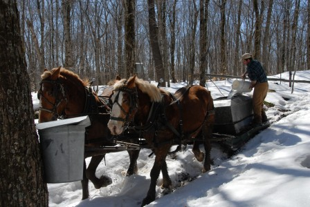 Howrigan Family Farm maple sugaring with horses in Fairfield, VT.