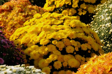 Mums flowering on the University Green in Burlington, Vermont.