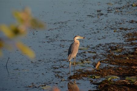 Great Blue Heron on Lake Champlain Shelburne Bay, Vermont.