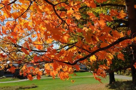 Orange Maple leaves Fayston, Vermont.