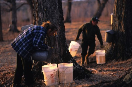 Sugar makers collecting maple sap in Fairfield, Vermont