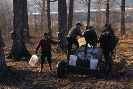 Sugar makers with horses collecting maple sap in Fairfield, Vermont