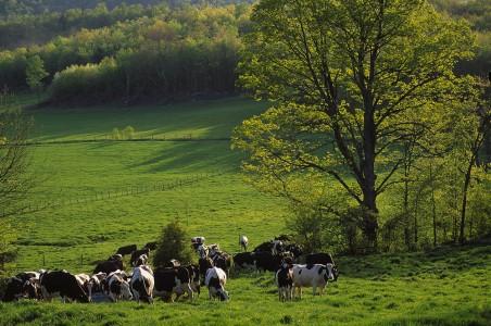 Cows drink in Fairfield, Vermont