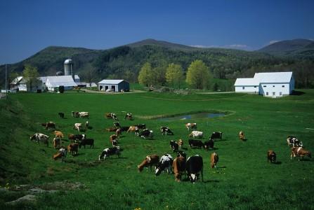 Cows enjoying green pastures in Bakersfield, Vermont
