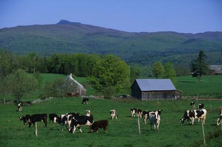 Cows enjoying green pastures in Moretown, Vermont