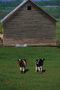 Cows in Waltham, Vermont stay close to the barn.