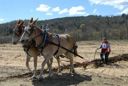 Woman competing with donkeys during the Plowing Match at Billings Farm and Museum in Woodstock, Vermont
