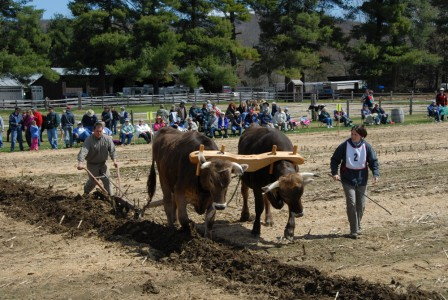 Man and woman competing with oxen during the Plowing Match at Billings Farm and Museum in Woodstock, Vermont