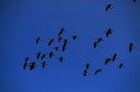 Geese fly over Shelburne Bay on Lake Champlain in Shelburne Vermont