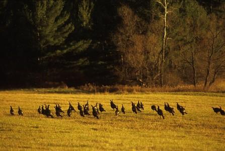 Turkeys gather in a field in Shelburne, Vermont