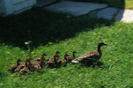 A mother duck herds her ducklings through Shelburne, Vermont