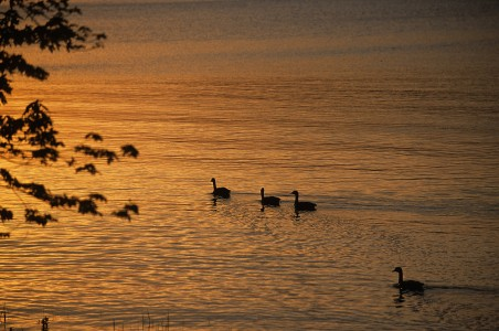 Geese at sunset at Shelburne Bay on Lake Champlain in Shelburne, Vermont