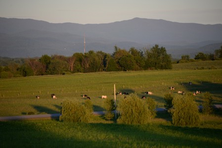 Cows grazing on farm in Charlotte, Vermont.