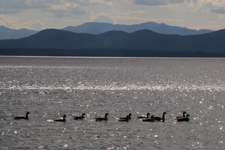 Lake Champlain Canadian Geese Shelburne, Vermont.