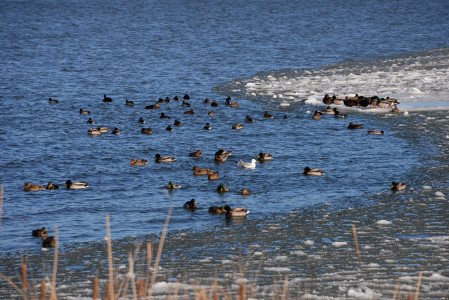 Lake Champlain Shelburne, Vermont waterfowl.
