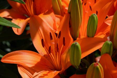 Lily garden in Sheburne, Vermont